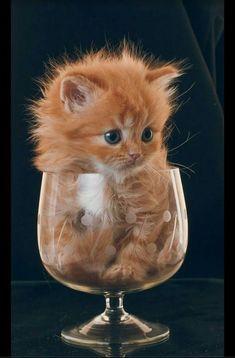 Cute Kittens, Fluffy Kittens, Baby Kittens, Pet Cats, Kitty Cats, Ragdoll Kittens, Lady Kitty, Newborn Kittens, Bengal Cats
