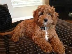 Cavapoo Adult Dog Photos - There is something so adorable about this dog's looks