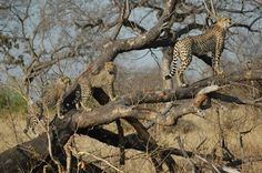 The Greater Kruger Park is South Africa's top safari destination and includes private reserves such as Sabi Sands and Timbavati. Cheetahs, Game Reserve, South Africa, Giraffe, Safari, Wildlife, Park, Animals, Felt Giraffe