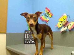 VERY URGENT -  ID# A433998 (Moreno Valley, CA)  male, brown and tan Miniature Pinscher mix.  The shelter thinks I am about 1 year.  I have been at the shelter since Apr 06, 2014 and I may be available for adoption on Apr 13, 2014 at 2:25PM.  City of Moreno Valley Animal Control Services. https://www.facebook.com/photo.php?fbid=300375253450601&set=a.136024659885662.29277.135559229932205&type=3&theater