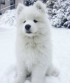Cute Sammy Samoyed puppy dog playing in the snow - Doggo - Puppies Cute Little Animals, Cute Funny Animals, Beautiful Dogs, Animals Beautiful, Samoyed Dogs, Puggle Puppies, Maltese Dogs, Cute Dogs And Puppies, Doggies