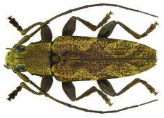 Tmesisternus avarus Pascoe, 1867 male. Schmidt 2011. Tenebrionidae