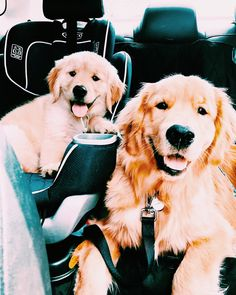 This cute puppy golden retriever will bring you joy. Dogs are wonderful creatures. Cute Puppies, Cute Dogs, Dogs And Puppies, Doggies, Animals And Pets, Baby Animals, Cute Animals, Retriever Puppy, Golden Retriever Puppies