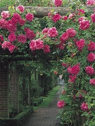 Zepherine Drouhin growing over a pergola - this is a rose from 1868, nearly thornless, and therefore painless to train over a pergola. It's a Bourbon rose, but surprisingly drought tolerant for all that. And best of all? It repeats!