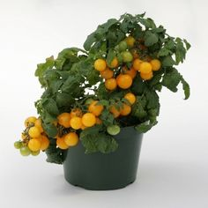 Container Patio Sweet N Neat Yellow Cherry Tomato Seeds