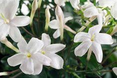 Balcon : 12 plantes brise-vue pour une intimité parfaite Jasmine Plant Indoor, Indoor Garden, Garden Plants, Indoor Plants, House Plants, Plante Jasmin, Portulaca Grandiflora, Flower Pot Design, Fertilizer For Plants