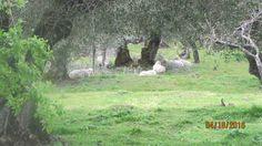 Colhereira de Baixo - Santo António das Areias - Mrvão (trabalho no campo - guardar o rebanho de ovelhas)