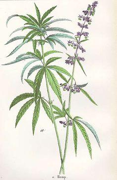 Hemp [ cannabis ] from The Vegetable World