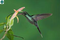 Chim ruồi Ẩn sĩ xanh Trung Mỹ và bắc Nam Mỹ | Green hermit (Phaethornis guy)(Trochilidae) IUCN Red List of Threatened Species 3.1 : Least Concern (LC) | (Loài ít quan tâm)