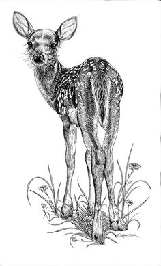 doe pen ink drawing