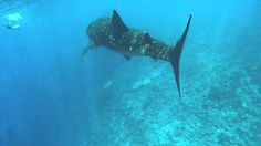 WHALE  SHARK ANGAGA Maldives