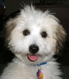 Indy Cute Puppies, Dogs And Puppies, Coton De Tulear, Small Dog Breeds, Puppys, Badass, Animals, Cotton, Cubs