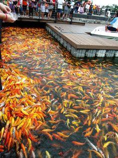 1000 images about koi for Koi pond quezon city