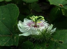 """(passion flower) """"Love-in-the-mist"""" ---nice common name!........upper Napo River east of Tena, Ecuador"""