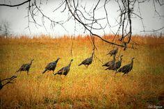 Turkeys in Switzerland county Indiana,PHOTO by Shila Geyman
