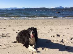 Border Collie Exploring the BC Coast  http://talenthounds.ca/health/fit-dog-friday/travelling-with-dogs-in-bc/