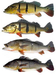 Peacock Bass Variations