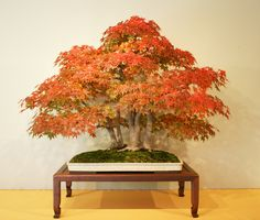 This Japanese Maple was donated to our National Bonsai and Penjing Museum by Ryutaro Azuma. It has been in training since 1906. The photo, like all but one ...