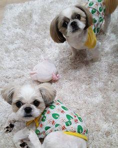 また無言の訴え😂 * ブラッシングが嫌いなうに🐶 お耳を短ーーくしてもらったら・・・オッサンにしか見えない。。 ヤバイ(笑) * #シーズー#しーずー#しーずーだいすき部 #わんこ #わんこなしでは生きていけません会 #いぬのいる暮らし #いぬすた #いぬすたぐらむ#多頭飼い#愛犬#ムーム#うに#おそろコーデ #dog #shihztu #shihzu #instagram #instadog