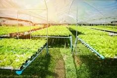Premium Photo | Hydroponic farm salad plants vegetable green oak lettuce salad Hydroponic Systems, Hydroponics, Lettuce, Agriculture, Vineyard, Salad, Vegetables, Green, Plants