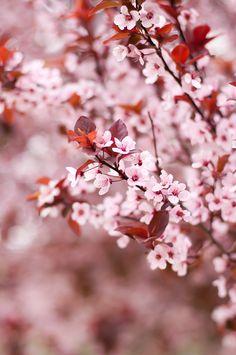 Lulu's Sweet Secrets: My New Passion: Painting Fondant Cherry Blossom Tree, Blossom Trees, Colorful Flowers, Beautiful Flowers, Japanese Cherry Tree, List Of Flowers, Plum Tree, My Secret Garden, Parcs