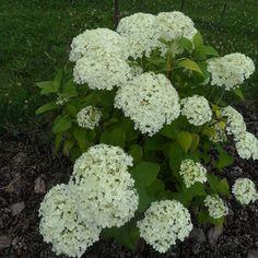 Hydrangea, Gardening, Vegetables, Magic, Hydrangea Garden, Lawn And Garden, Hydrangeas, Vegetable Recipes, Hydrangea Macrophylla