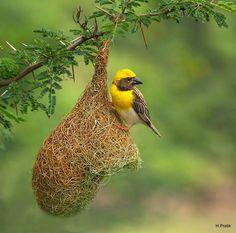 Baya Weaver on its nest, India