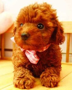 How about cute… a little boy tea cup poodle whose name is Mufasa…. Teacup Poodle Puppies, Teddy Bear Puppies, Poodle Puppies For Sale, Tea Cup Poodle, Dogs For Sale, Toy Puppies, Poodle Mix, Cute Teddy Bears, Teacup Dogs
