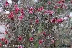 Leptospermum scoparium 'Crimson Glory' - Leptospermum