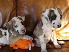 Harlequin Great Dane Puppies | dear God are they cute... They're even better fully grown as giant horse dogs.
