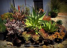 Celebrate Earth Day -- plant succulents! Earth Day is a great reminder that we can all help care for the earth. What better way than to plant waterwise succulents that conserve our most precious resource. Look at this variety! https://shop.cacti.com/serra-gardens/