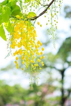 Goldregen / Laburnum