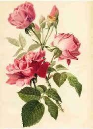botanical rose drawing - Google Search