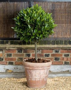 Standard Bay Tree (lollipop topiary) in Terracotta Pot