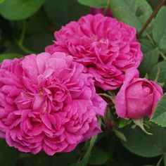 'Rose de Rescht' : Damask Rose Rose for Jam, Syrup, Tea Flowers  a charming rose, with a fabulous, strong fragrance. Its petals produce tasteful syrup& fragrant, delicious jam. & tea petals, as well as other rose fragrance products. Not recommended for the production of essential oils as it does not produce enough. he colour of their petals is dark pink. It flowers abundantly every 3-4 weeks. So not only look lovely, but you can produce tasteful  fragrant jam out of the petals.