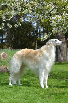 """Borzoi (or Russian Wolfhound) - I'm curiously fond of how these dogs look. Also, the few that I have met, have gloriously soft coats! Apparently, also called a """"Silken Windhound""""."""