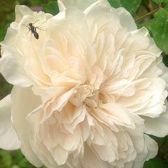 La rosa Sombreuil e la formica #giardinoindiretta