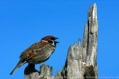 Tree Sparrow zpěv