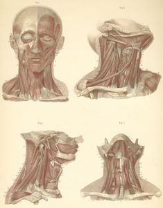 neck muscles - Google Search