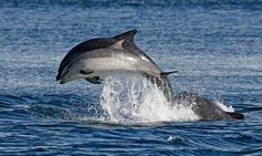 Dolphins @ Setúbal -PORTUGAL. Resident community that can be admired year round on the wild.