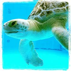 Clearwater Marine Aquarium's Resident Turtles...I love turtles! When I am old enough i am going to volunteer to help save marine wildlife