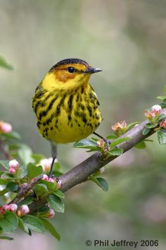 Cape May Warbler  (have seen this in Island Cottage Woods near Rochester, NY and in my yard in '78)