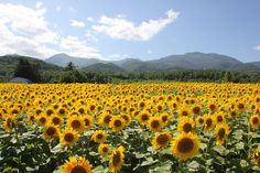 Thanks perhaps to my amazing new country music playlist the drive flew by a Sunflower Fields, Lavender Fields, Country Music Playlist, Phone Backgrounds Tumblr, Furano, Amethyst Color, Wizard Of Oz, Wild Hearts, Ocean Beach