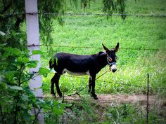 burro.