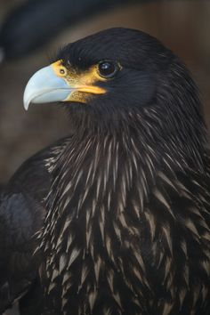 The Striated Caracara (Phalcoboenus australis) is a bird of prey of the Falconidae family. It breeds in several islands in Tierra del Fuego, but is more abundant in the Falklands. In the Falkland Islands it is known as the Johnny Rook