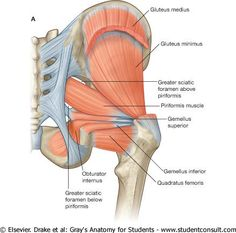 Three gluteal muscles, gluteus maximus muscle, gluteus medius and gluteus minimus.