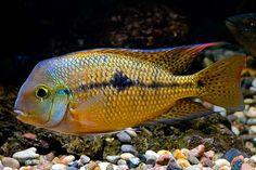 central american cichlids - Google Search