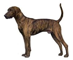 The Plott Hound:  Have one.  Mine is a little thicker in the middle than this one tho....