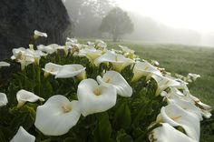 Zantedeschia aethiopica - Google Search