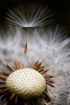 -she blew on the dandelion and began to float along with the fledgling seeds as they mounted the skies.
